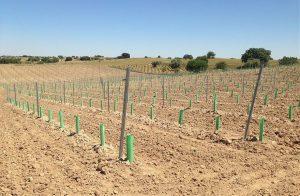 Nueva plantación Garnacha tintorera en espaldera Bodegas Muñoz Martin Navalcarnero